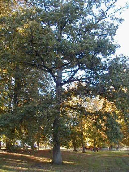 Ett högt träd
