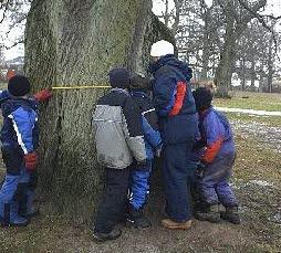 Några barn och en vuxen som mäter omkretsen på ett stort träd med ett måttband.